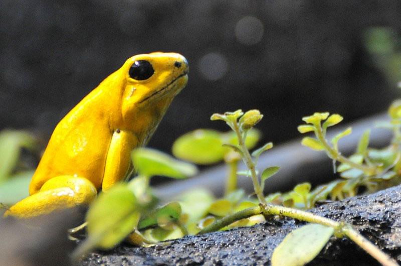 Yellow Dart frog
