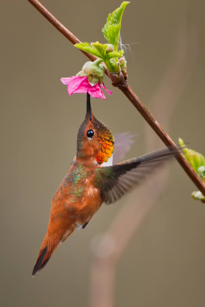 Another Rufous