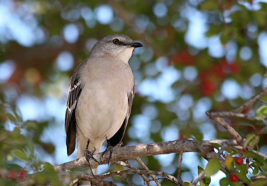 Mr. Mockingbird