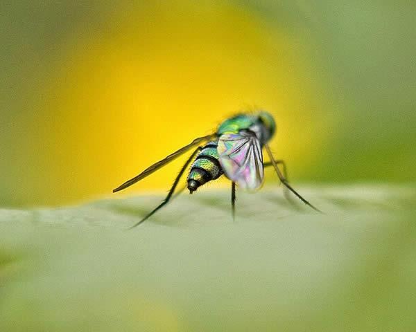 Mosca - Long Legged Fly