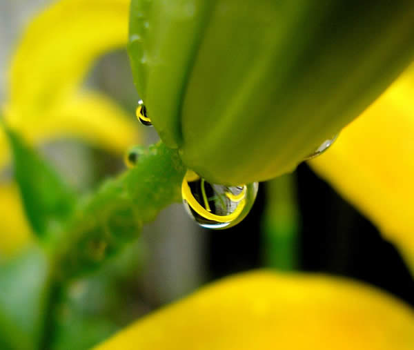 A Yellow Lily in a Raindrop