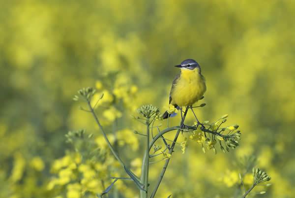 Yellowplow
