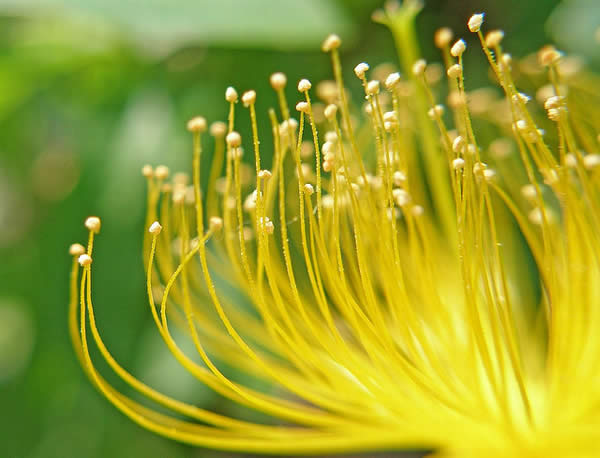 Yellow Pistils