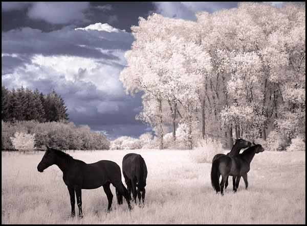 Horses Dream III Infrared