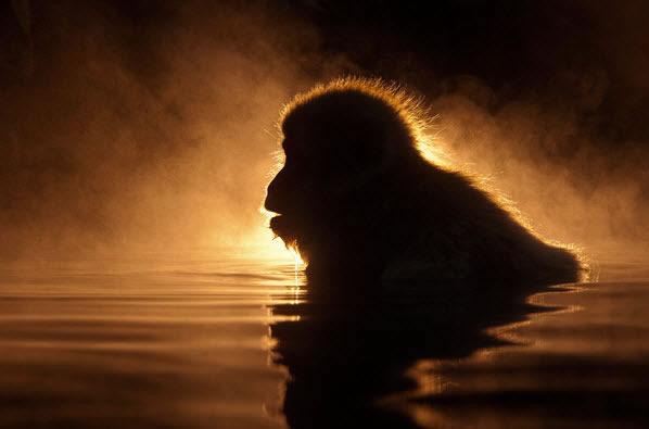 Macaca Fuscata Iluminata