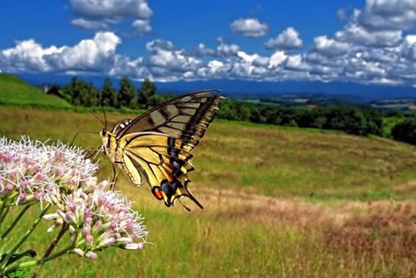 Papilio Machaon Butterfly in Biei, Hokkaido, Japan