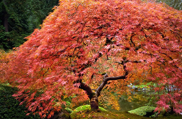 Lace Maple, Japanese Garden