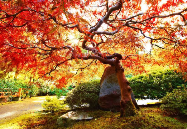 Japanese Maple, I