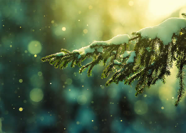 Pine Needles in the Snowfall