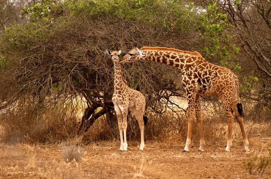 Giraffes in Amboseli Kenya