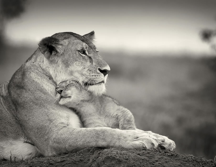 Lioness with Little One