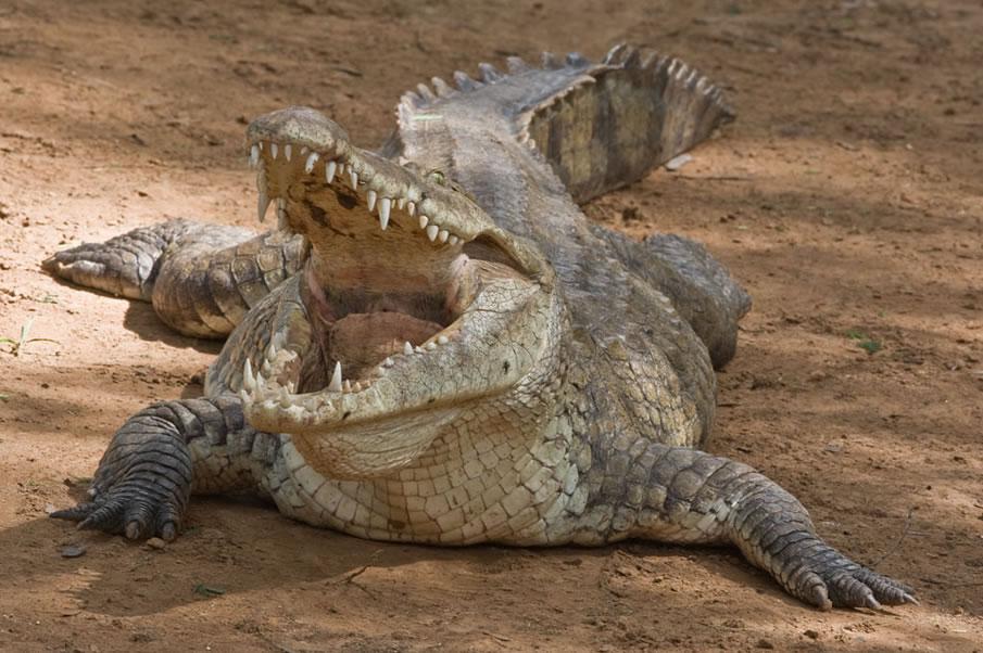 Croc Kenya