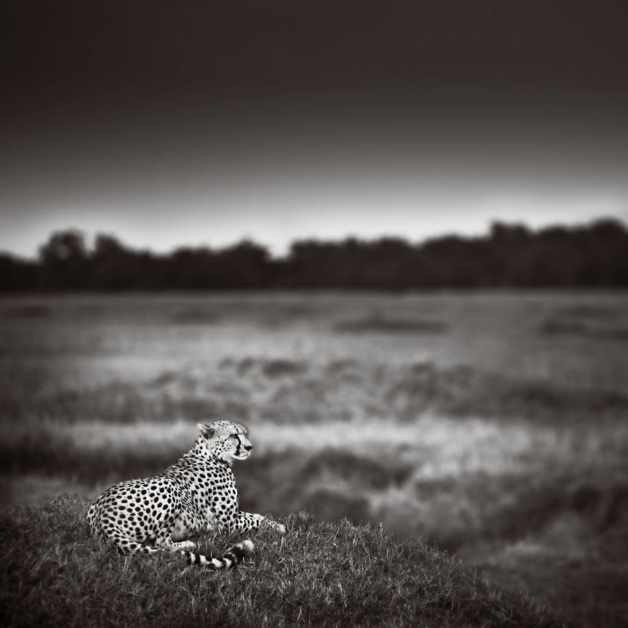Cheetah on a Mound