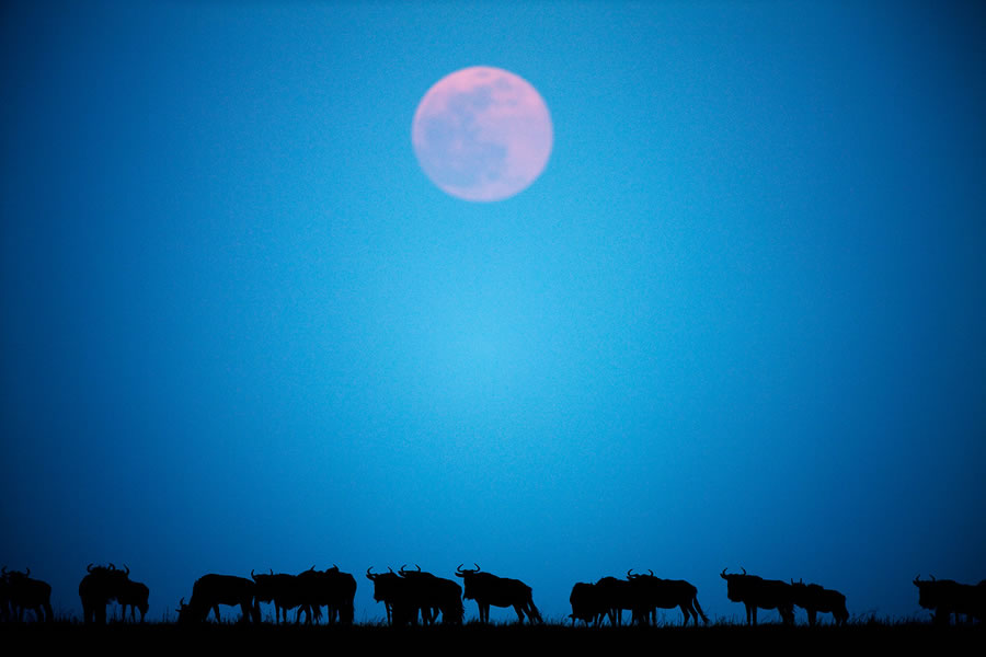 Wildebeest and Full Moon