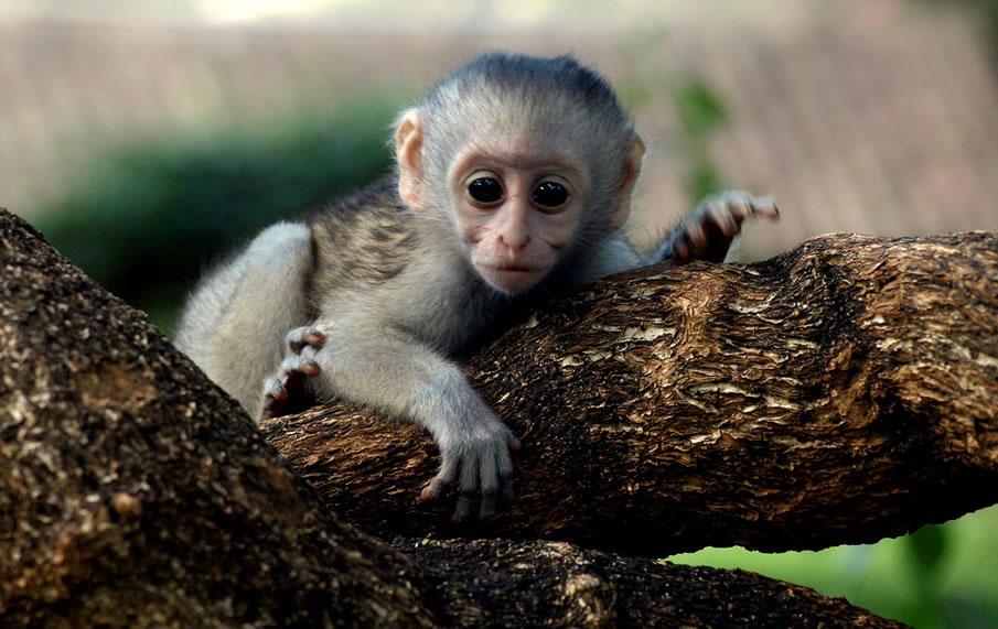 Kenya Baby Monkey