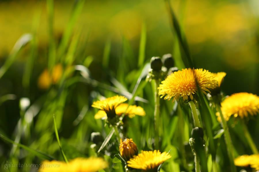 Just Dandelions