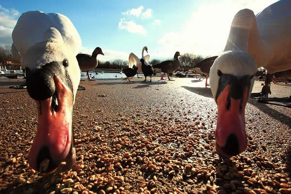 Swans at Slimbridge