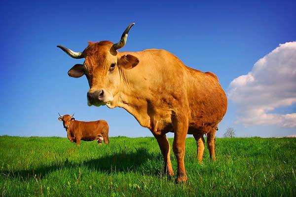 Low Below a Cow