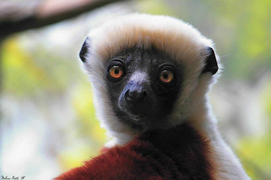 Sifaka Close-Up