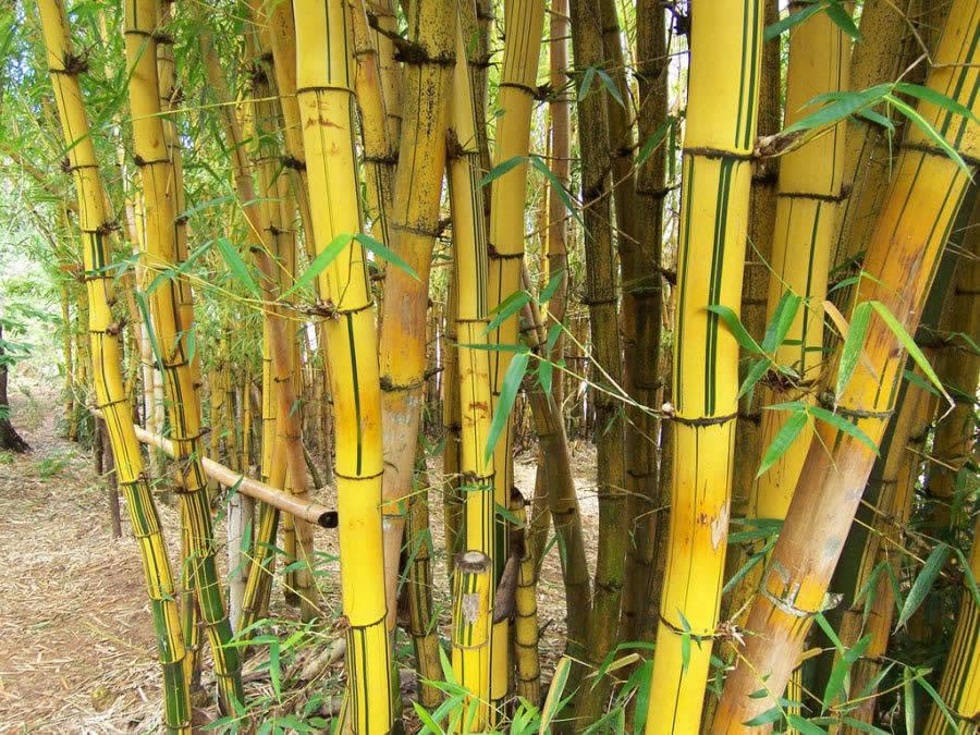 Madagascar, Bambous