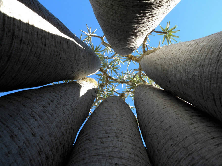 Pachypodium, Tsimanampetsotsa, Madagascar