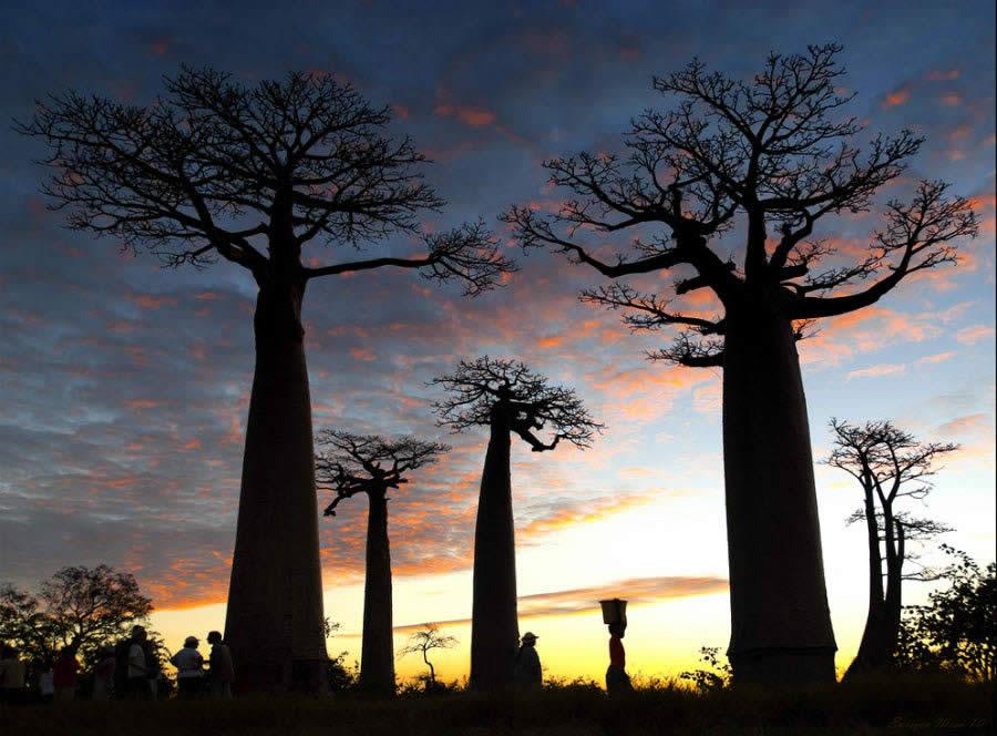 Atardecer entre Baobabs. Madagascar