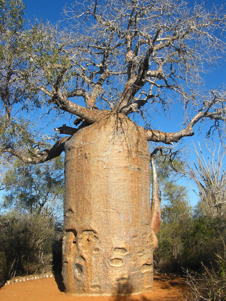 Baobab Tree-Madagascar