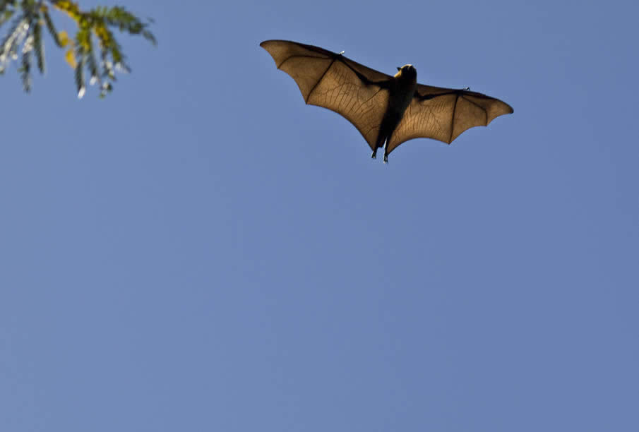 Flying Fox (Fruit Bat)
