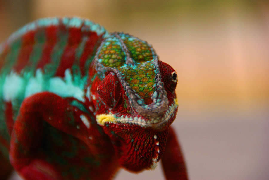 Chameleon of Madagascar 1