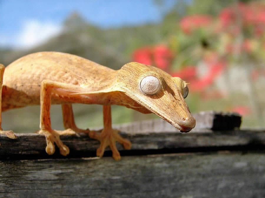 Chameleon Madagascar 2