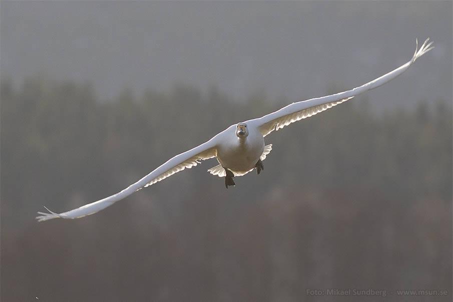 Flygande Svanen