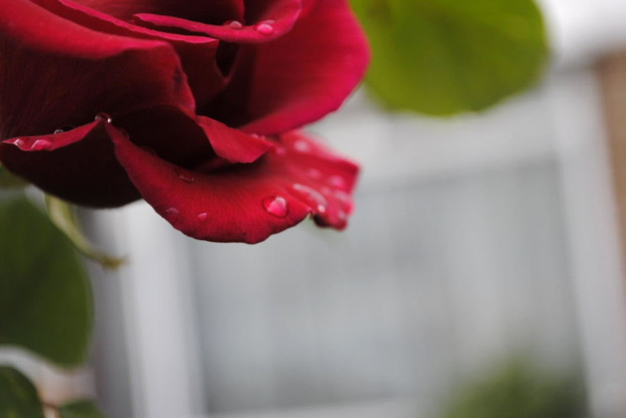 Rose Petal and Drops