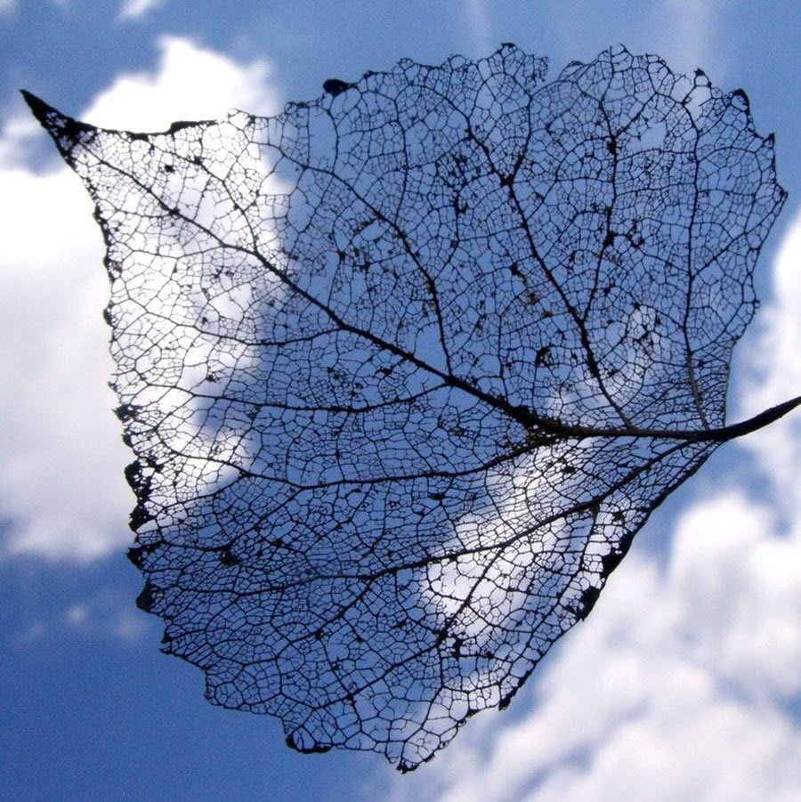 Leaf Skeleton