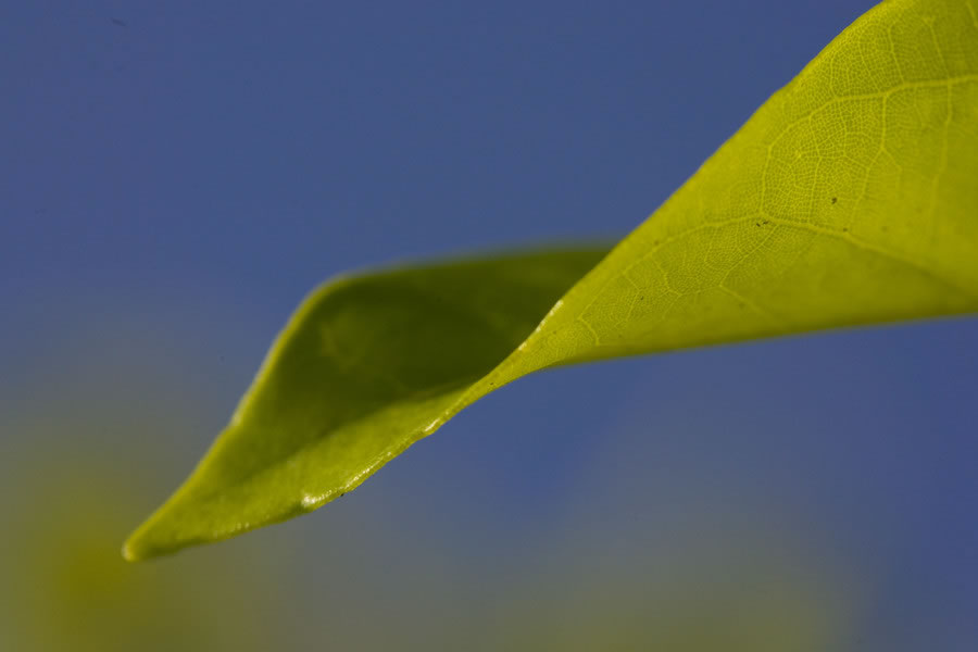 Gentle Leaf