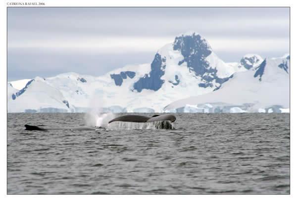 Humpback Whale XII