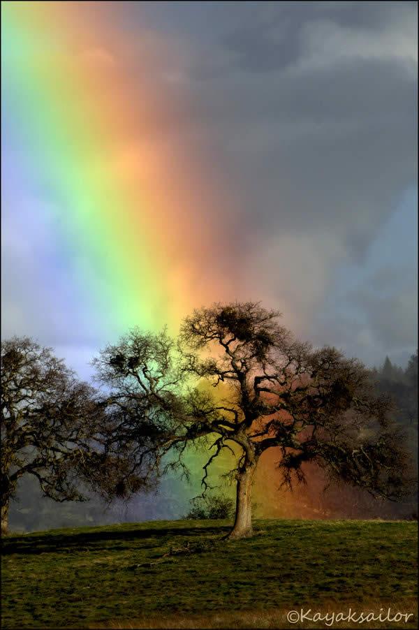 Rainbow Oak