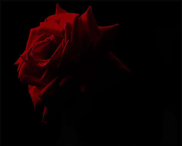 The Dark Red Rose