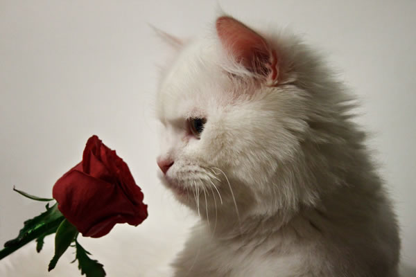 Romantic Kitten