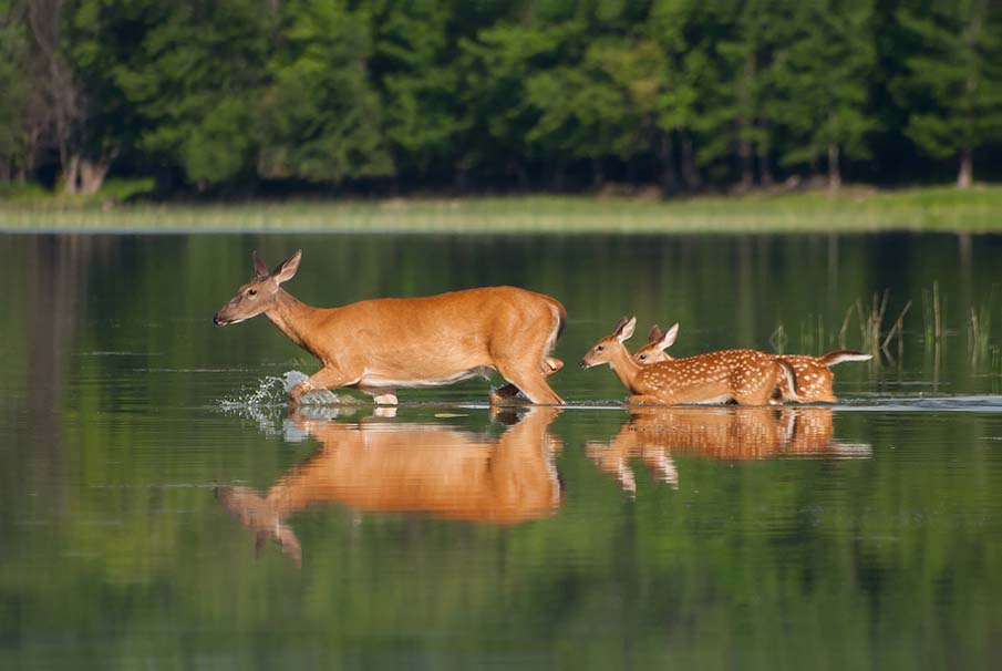 Whitetail Deer and Twin Fawns