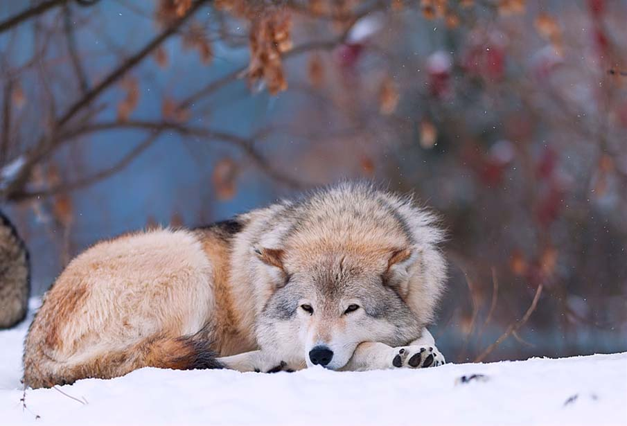 雪の上で寝そべる狼