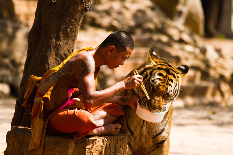 Monk and Tiger Sharing Their Meal