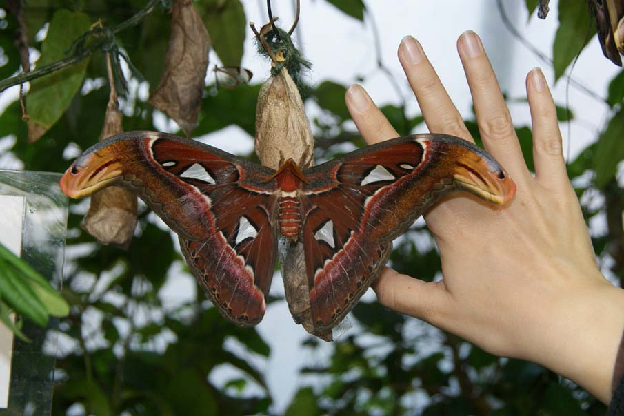 Huge Atlas Moth