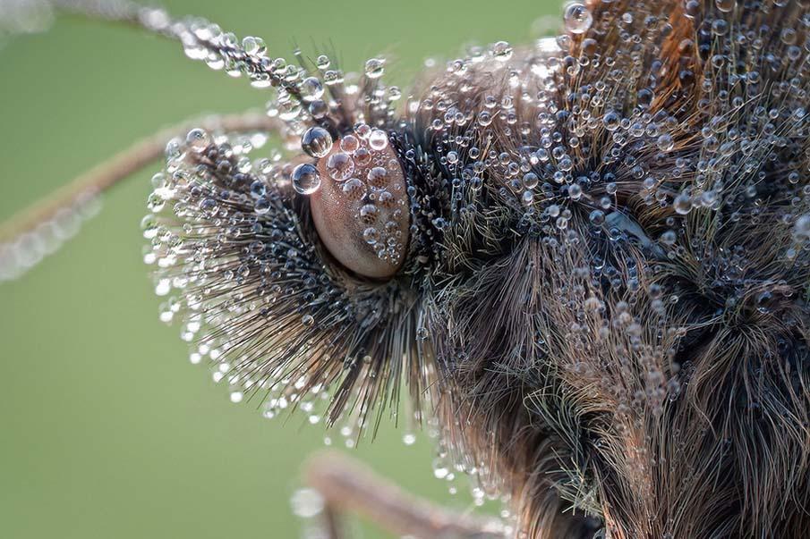 Moustache Butterfly