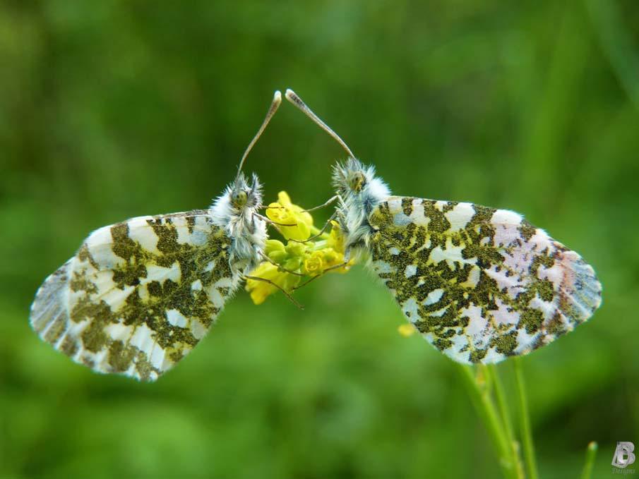 Butterfly Conversation
