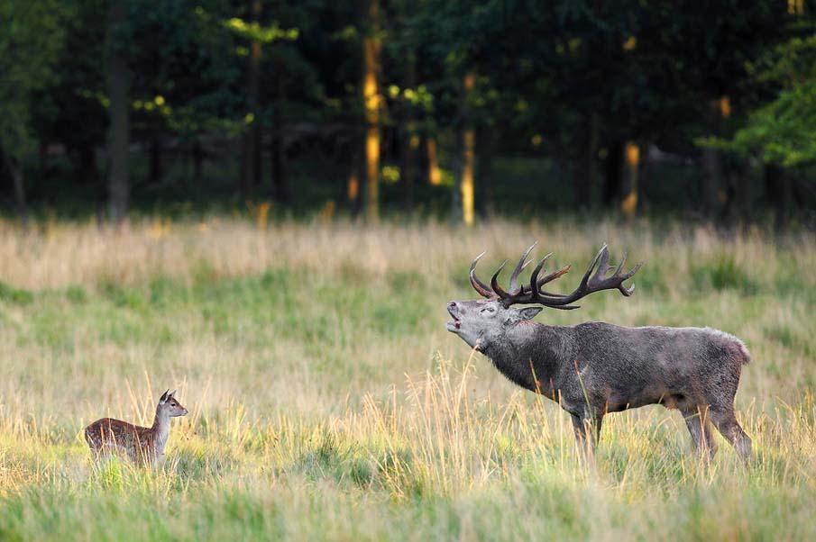 Show-off Deer