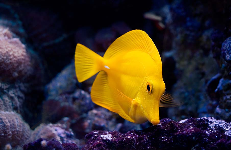 A yellow fish for Exotic tropical fish