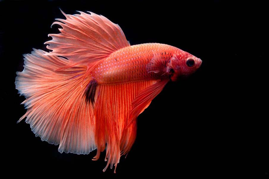 Betta Splendens Halfmoon Orange