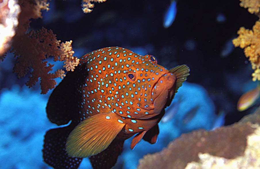 Коралловый Групер