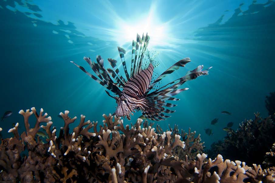 Lion Fish with Sunburst