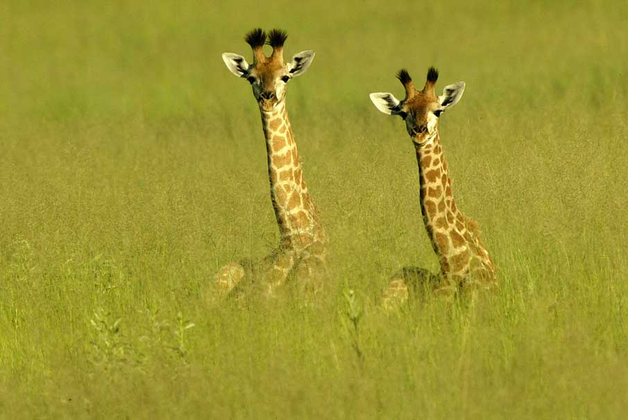 Baby Giraffes